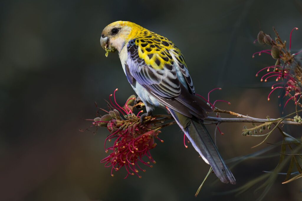 Ross Coupland's bird photography 11